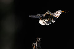 Flying dragonfly at contrast lightening Stock Photography