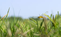 Flying dragonfly over grass Stock Image