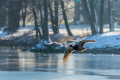 Flying Drake Mallard above the water surface. Flying Drake Mallard above the frozen water surface in the winter. Duck in the air Royalty Free Stock Photo