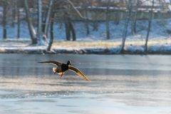Flying Drake Mallard above the water surface. Flying Drake Mallard above the frozen water surface in the winter. Duck in the air Royalty Free Stock Photography