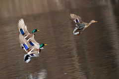 Flying Drake Mallards in Courtship Flight. Ducks fly over water. The Flying Drake Mallards in Courtship Flight. Ducks fly over water Stock Photo