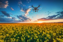 Flying drone over the rapeseed field, sunset and dramatic clouds. Flying drone over the rapeseed fields at spring royalty free stock images