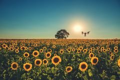 Flying drone and sunflower field Stock Photos