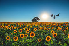 Flying drone and sunflower field Stock Image