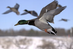 Flying duck Royalty Free Stock Image