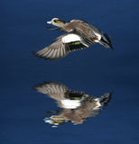 Flying duck. A duck flying over it's own reflection in water Royalty Free Stock Image