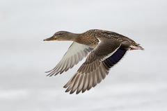 Free Flying Duck Royalty Free Stock Image - 39710616