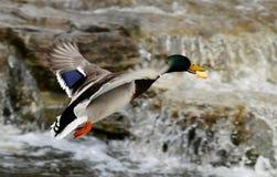 Flying duck Stock Image