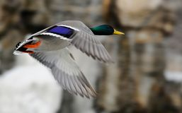 Flying duck Royalty Free Stock Photo