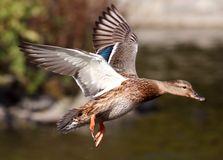 Flying duck. Duck flying over the pond Stock Photos