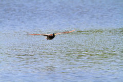 Flying Duck. Duck flying above the surface of the water. Shallow focus Stock Photography