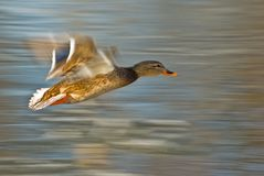 Flying duck (Anas platyrhynchos) Royalty Free Stock Photography
