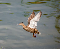 Flying duck. Duck flying away form the water royalty free stock image