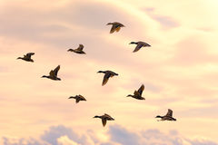 Flying duck group Royalty Free Stock Photo