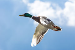 Flying Duck Stock Photography