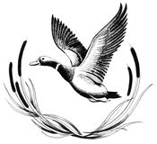 Flying duck. Ink drawing of a flying duck royalty free illustration