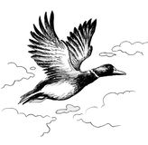 Flying duck Royalty Free Stock Images
