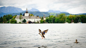 Flying Duck on the Lake Stock Photography
