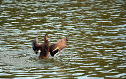 Flying duck on lake. Happy wildduck on the lake Stock Photography