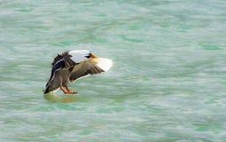 Flying Duck Stock Photo