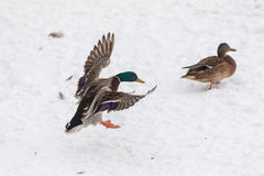 Flying duck lands on snow Royalty Free Stock Photo