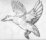 Flying duck sketch. Hand drawn pencil sketch of a flying duck with it's wings spread Stock Photos