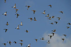 Flying ducks. On blue sky Royalty Free Stock Photography