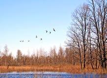 Free Flying Ducks Royalty Free Stock Image - 11454896