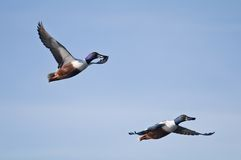 Flying ducks Royalty Free Stock Photo