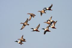 Flying ducks royalty free stock images