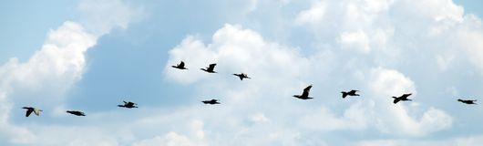 Flying ducks in a blue sky Royalty Free Stock Image