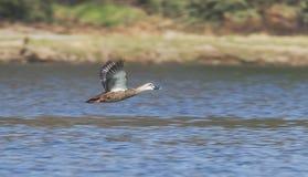Flying ducks Stock Photography