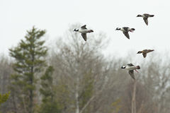Flying Ducks Royalty Free Stock Photography