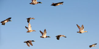 Flying Ducks. A flock of mallard ducks flying Royalty Free Stock Image