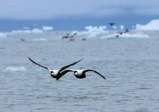 Flying ducks over The Arctic Ocean. Eider ducks flying over the Arctic Ocean royalty free stock photo