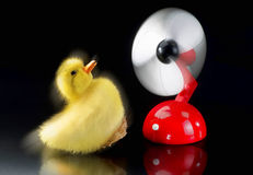 Flying Ducky. Baby ducky being blown away by red fan stock image
