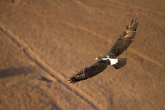 Flying eagle Royalty Free Stock Photo