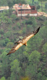 Flying eagle. Upper view of flying eagle Stock Image