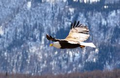 Flying eagle Royalty Free Stock Photography