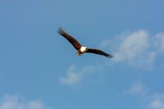 Flying eagle angler above the lake. Kenya, Africa Stock Images