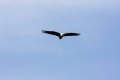 Flying eagle angler above Naivasha lake. Kenya Stock Photo