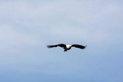 Flying eagle angler. Naivasha Stock Photos