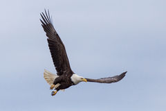 Flying eagle Stock Photography