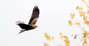 Flying eagle. Beautiful shot of wild flying eagle royalty free stock photo