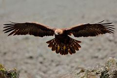 Flying eagle. Bird behaviour in rocky mountain. Hunter with catch. Golden eagle in grey stone habitat. Golden Eagle, Aquila chrysa Royalty Free Stock Images
