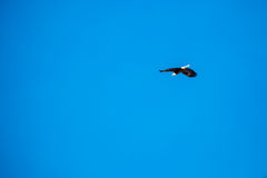 Flying Eagle, Blue Sky. Bald eagle flying in a clear blue sky Royalty Free Stock Image