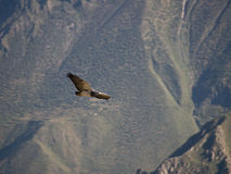Flying eagle in the Colca canyon Royalty Free Stock Image