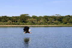 Flying eagle. Over a lake, in Kenya Stock Images