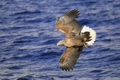 Flying eagle over sea Royalty Free Stock Image