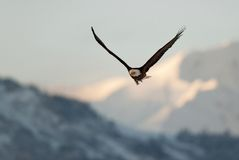 Flying eagle over snow-covered mountains. Stock Photography